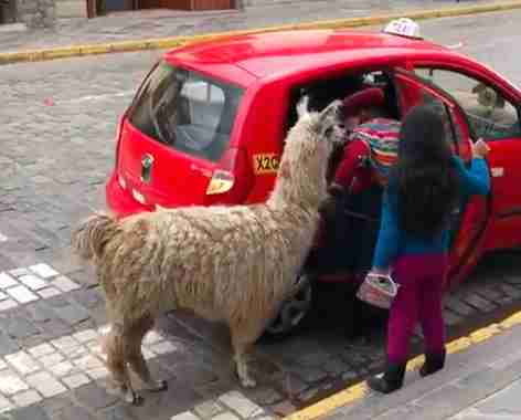 Alpaca Spotted Catching Ride With His Family In Taxi