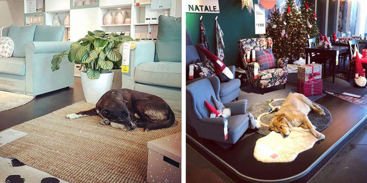 Italian Ikea Store Opens Its Doors To Local Stray Dogs The Dodo