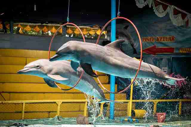 dolphin circus indonesia