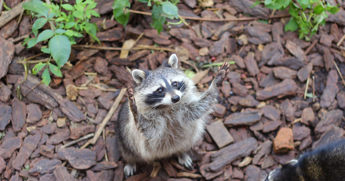 Local Police Say Raccoons Aren't Rabid, Just 'Extremely Drunk'
