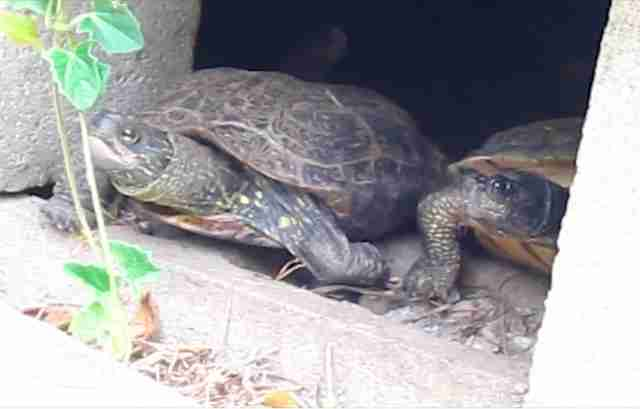 Turtles who braved Woolsey Fire