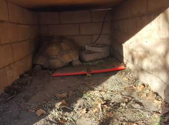 Tortoise sheltering in place in Malibu during Woolsey Fire