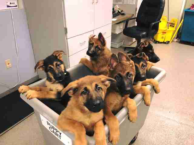 puppy cart puppies