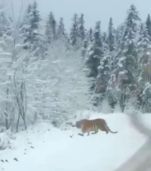 tiger siberian road china