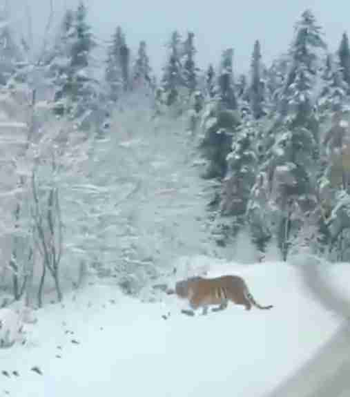 tiger siberian road china