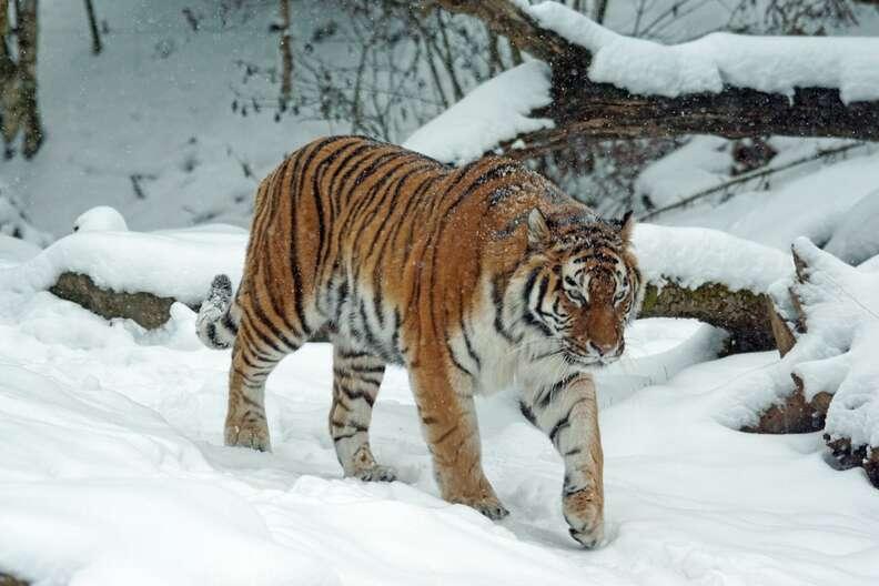 tiger siberian asia