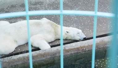 polar bear tongki death
