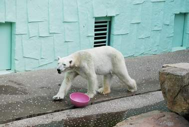 tongki polar bear