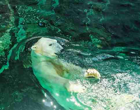 tongki polar bear