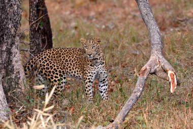 leopard wild india