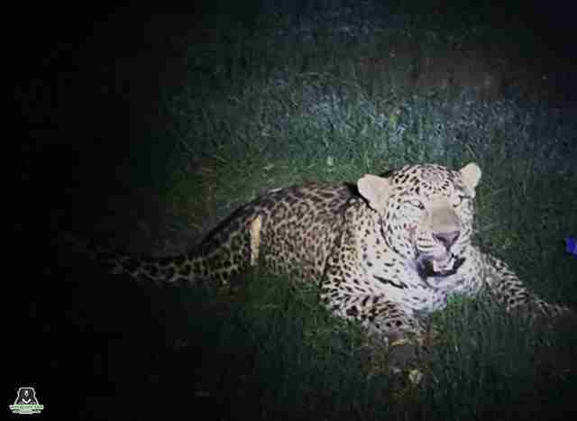 People See Hurt Leopard In Their Headlights — And Know They Have To Help