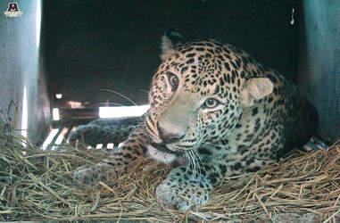 leopard rescue india