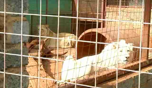 People Want To Sell This Rare White Lion To Be Killed By Hunters