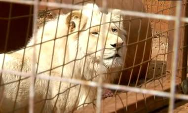 lion rescue south africa