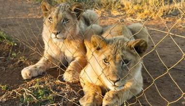 canned hunting lion