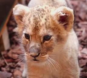 Lion cub kept as pet found in back of luxury car in Paris