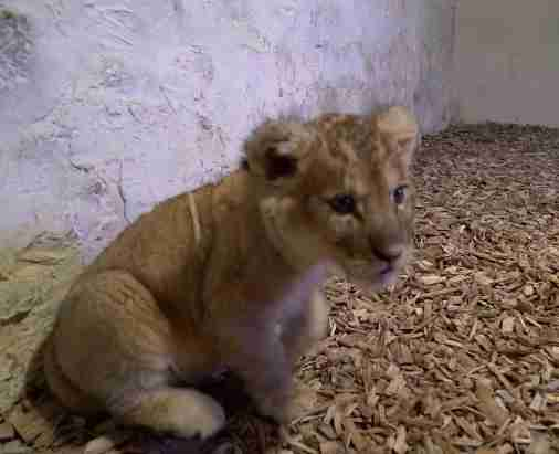 Lion cub kept as pet found in back of luxury car in Paris