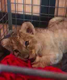 Lion cub found in Lamborghini on the Champs Elysees in Paris
