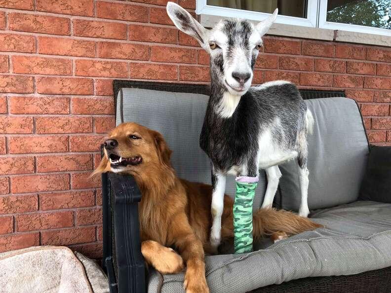 Rescued goat at Ontario sanctuary