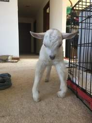 Rescued baby goat at Ontario sanctuary