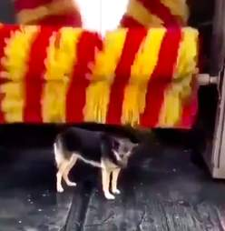 Linda the stray dog gets brushed at car wash in Turkey