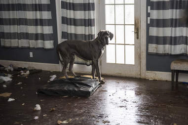 Great Dane standing in squalid house