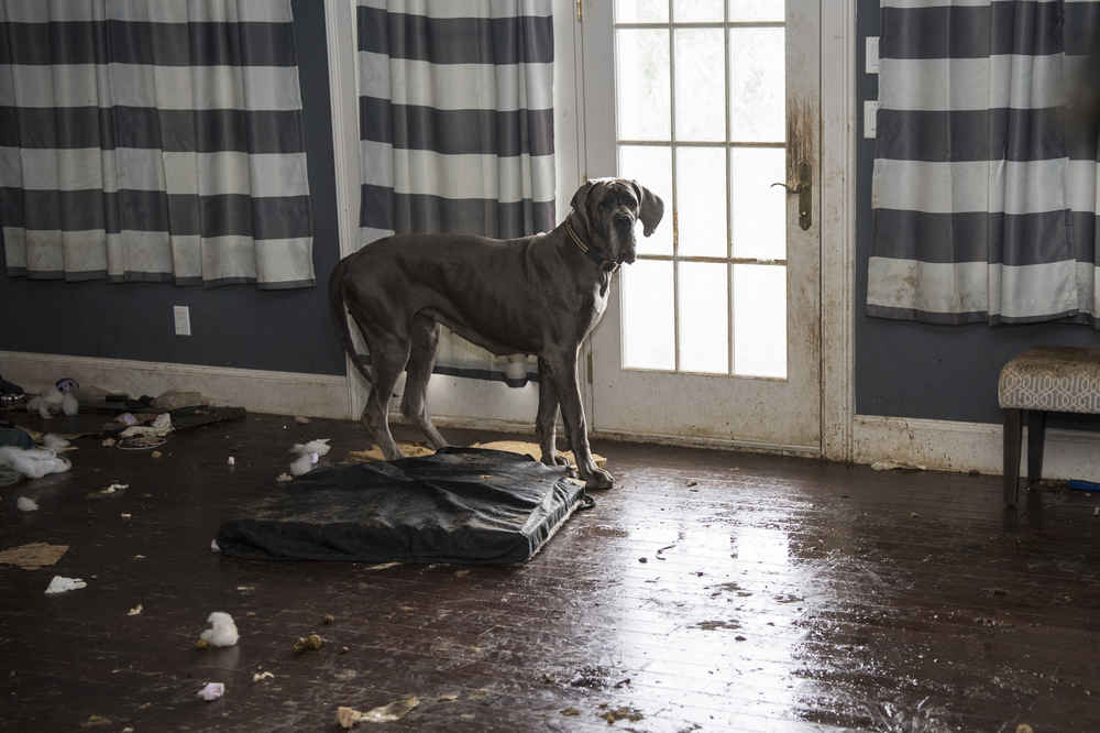 Great Dane Rescued From Nightmare Mansion Has A Totally Different Life Now