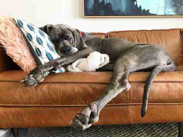 Great Dane lying on couch