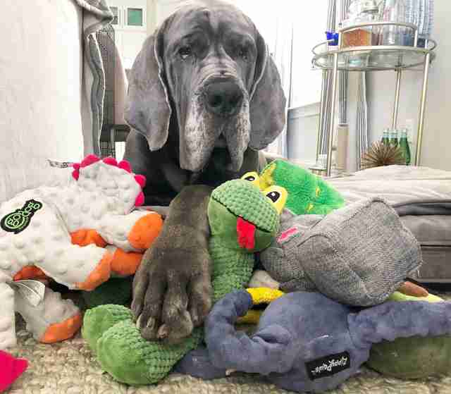 Great Dane lying on pile of toys