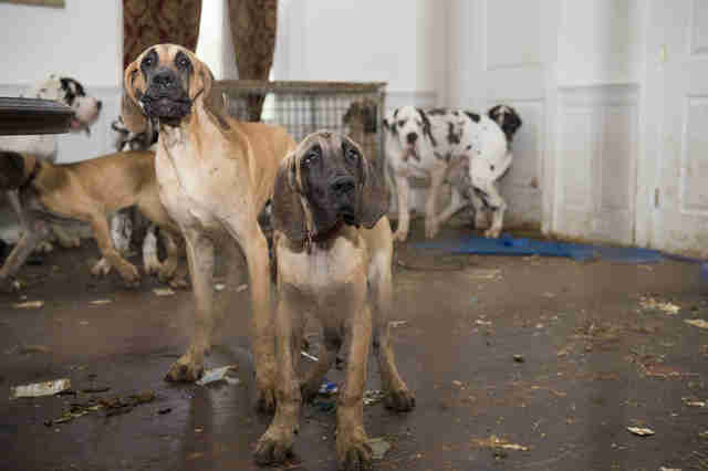Great Danes inside squalid house in New Hampshire