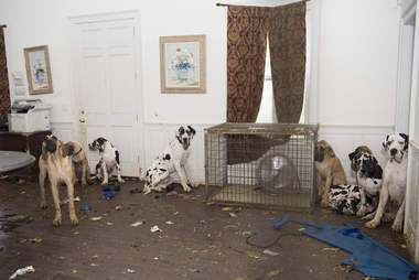 Great Danes inside dirty home
