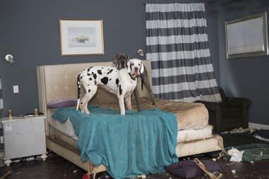 Great Dane inside dirty bedroom