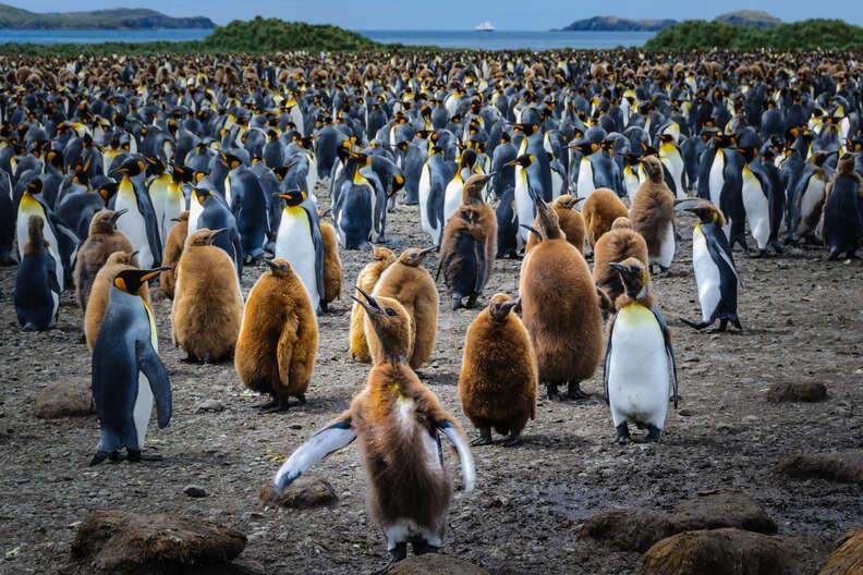 yang king penguin