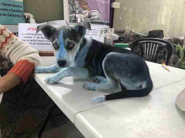 Blue Puppy Turns Up At Vet Clinic And Surprises Everyone