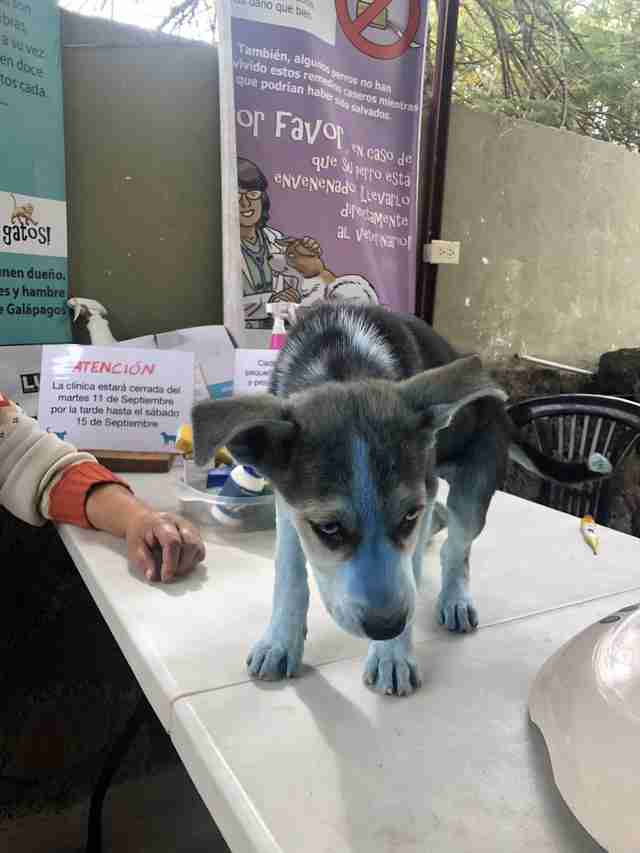 Husky puppy covered in blue paint