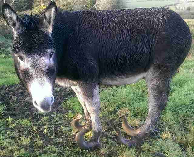 abandoned donkey with overgrown hooves gets lifesaving makeover