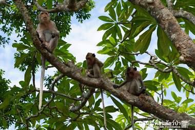 Monkey troupe of wild baby monkey who was found drunk in Thailand