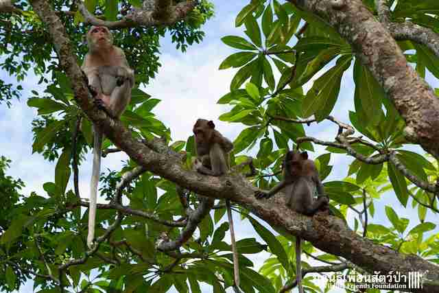 Monkey troupe of wild baby monkey who was found drunk in Thailand