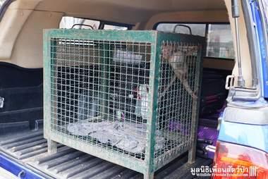 Wild baby monkey found drunk gets rehabbed in Thailand