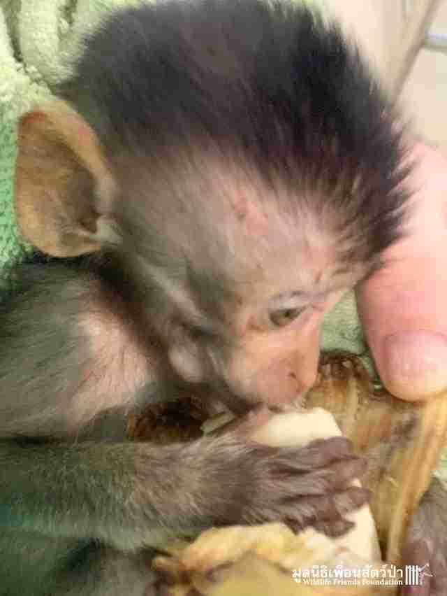 Wild baby monkey found drunk gets rehabbed in Thailand