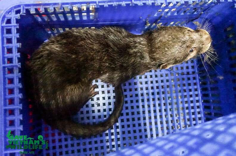 Wild otters confiscated from traffickers in Vietnam