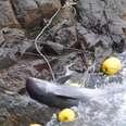 Melon-headed whale throwing himself on rocks