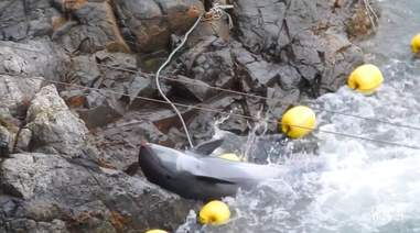 Melon-headed whale throwing himself on sharp rocks