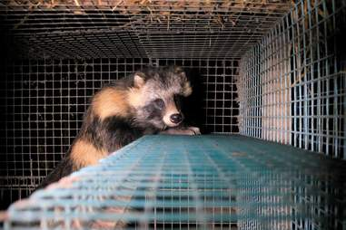 Raccoon dog cowering in the back of a cage