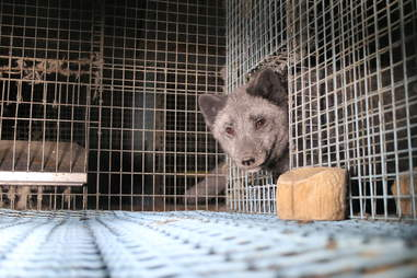 Animal cowering in fur farm cage