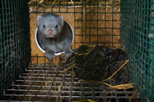 Animal stuck inside cage at fur farm