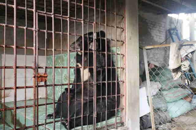 Asiatic black bear saved from Vietnam bile farm