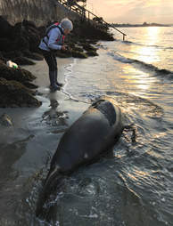 Woman looking at body of dead seal