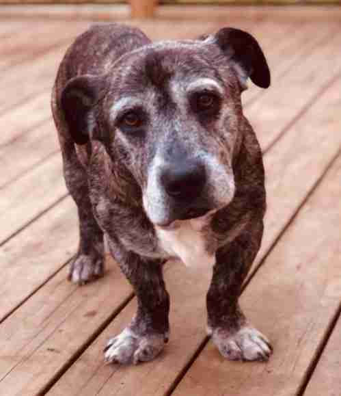 Duke the senior pit bull mix in New Zealand