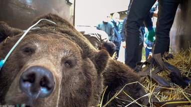 Bear being rescued